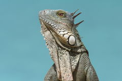 Iguana verde (iguana) dell'iguana - Bonaire Immagine Stock