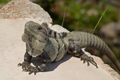 Iguana verde maschio (iguana dell'iguana) Fotografia Stock Libera da Diritti