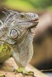 Iguana verde Royalty Free Stock Image