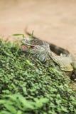 Iguana verde Stock Photos