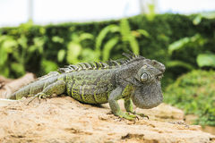 Iguana verde Stock Image