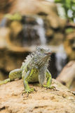 Iguana verde Royalty Free Stock Photo
