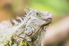 Iguana verde Royalty Free Stock Photos