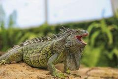 Iguana verde Stock Photo