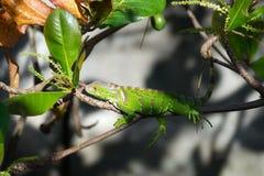 Iguana verde na filial de árvore Fotografia de Stock