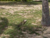 Iguana verde nas sombras em um St Croix Beach Fotos de Stock Royalty Free