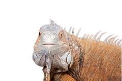 Iguana verde no branco Fotos de Stock
