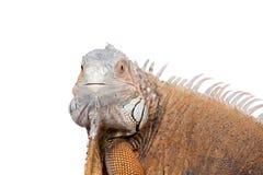 Iguana verde no branco Imagens de Stock