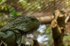 Iguana verde no jardim zoológico, é o lagarto o maior em Ámérica do Sul imagem de stock