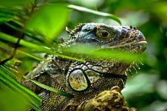 Iguana verde no ramo de árvore imagem de stock royalty free