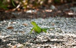 Iguana verde no Sun imagens de stock royalty free