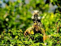 Iguana verde, parque de la Florida Fotos de archivo