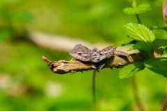Iguana verde que descansa em uma planta Foto de Stock Royalty Free