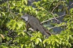 Iguana verde que descansa en un manzano de charca en la sol de la Florida Imagen de archivo libre de regalías