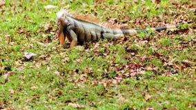 Iguana verde que hace frente a la cámara Foto de archivo libre de regalías