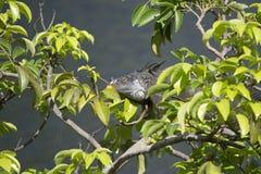 Iguana verde que presenta en el sol en un manzano de charca Foto de archivo