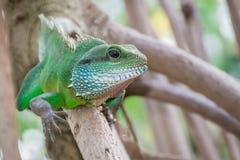 Iguana verde que sube en rama imagen de archivo libre de regalías