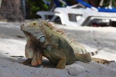 Iguana verde salvaje Foto de archivo libre de regalías