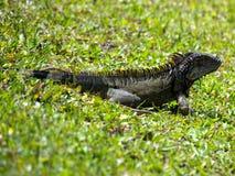 Iguana verde selvaggia in erba Fotografia Stock Libera da Diritti