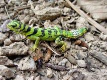 Iguana verde smeraldo del thornytail, werneri di azureum di Uracentron immagini stock libere da diritti