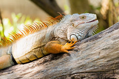 Iguana verde su legno Immagine Stock