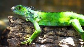 Iguana verde su un ramo //una lucertola verde dell'iguana il rettile si siede fotografia stock libera da diritti