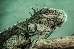 Iguana verde su una filiale Fotografia Stock