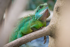 Iguana verde sul ramo Immagine Stock Libera da Diritti