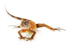 Iguana vermelha Imagens de Stock