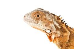 Iguana vermelha Fotos de Stock Royalty Free