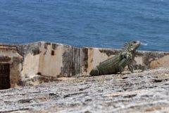 Iguana vigía en El Morro Stock Photo