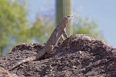 Iguana Vista Royalty Free Stock Photography