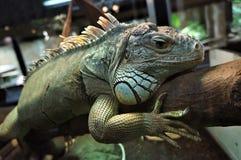 A beautiful iguana on a trunk stock photos