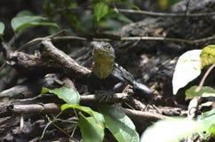 Iguana w Costa Rica Fotografia Royalty Free