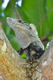 Iguana w drzewie obrazy stock