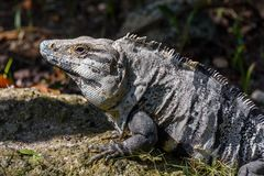 Iguana w dzikim, zbliżenie Czarna ogoniasta iguana, Czarna iguana lub Czarny ctenosaur, tropikalna dżungla w Meksyk Obraz Stock