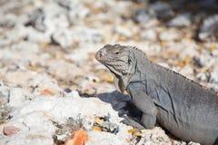 Iguana w w górę profilu na skałach w Kuba obrazy stock