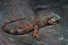 Iguana w jamie Obrazy Stock