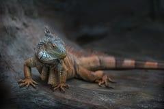 Iguana w jamie Zdjęcia Royalty Free