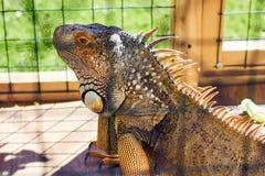 Iguana w klatce w zoo fotografia stock