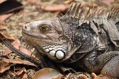 Iguana w Medellin ogródzie botanicznym obraz stock