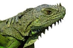 Iguana w/Paths capo fotografia stock libera da diritti