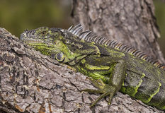 Iguana at Wakodahatchee Wetlands Stock Image