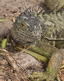 Iguana at Wakodahatchee Wetlands Royalty Free Stock Photos