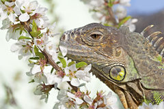 Iguana at walk Royalty Free Stock Photo
