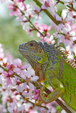 Iguana at walk Royalty Free Stock Image