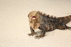 Iguana walking on the beach. Iguana on the beach with open mouth, Costa Rica Royalty Free Stock Photography
