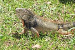 `Iguana` Stock Photos