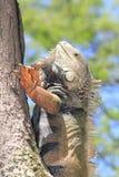 Iguana. `Iguana` walking in the forest Royalty Free Stock Image