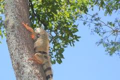 Iguana. `Iguana` walking in the forest Stock Photo